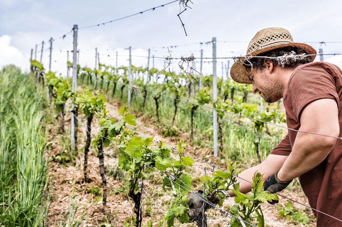 Die_Weinmacher_Franken_Das_Weinjahr_Fruehling_Niederziehen